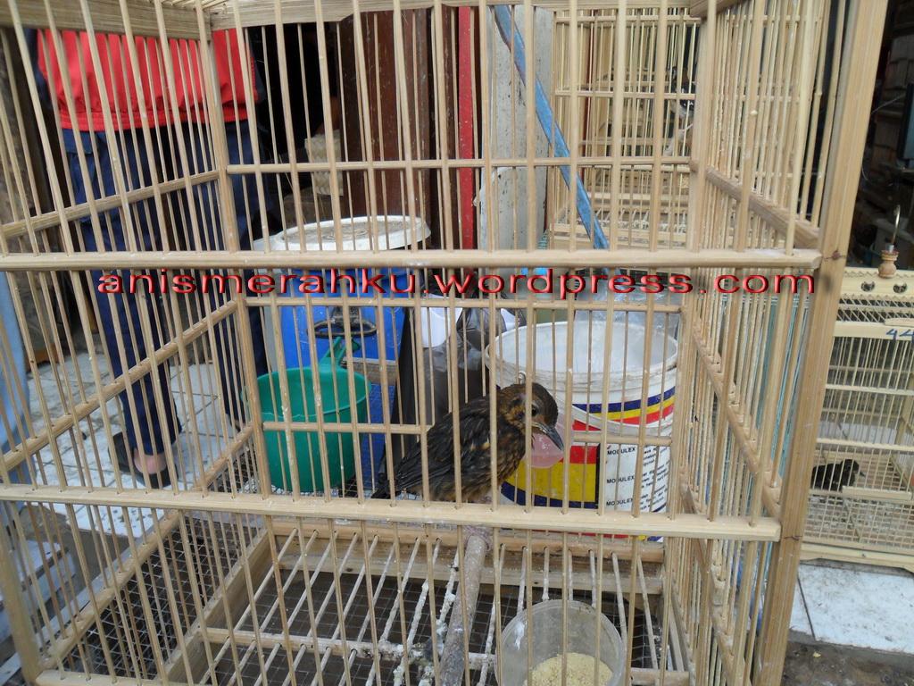 Kisaran Harga Burung Di Sukahaji
